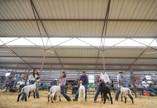 Navajo Times | Ravonelle Yazzie Young ranchers line up to show their market lambs on Aug. 25 during the 4-H show at Ramah Navajo Fair and Rodeo.