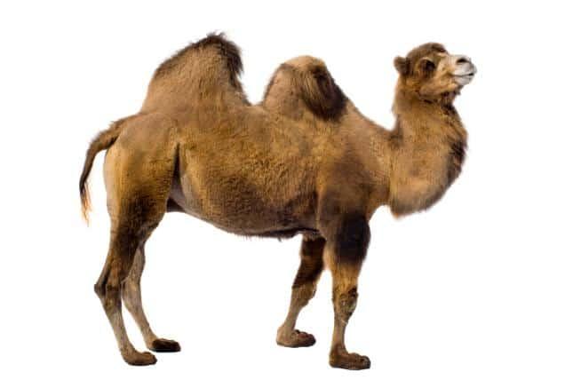 Resultado de imagen de camellos