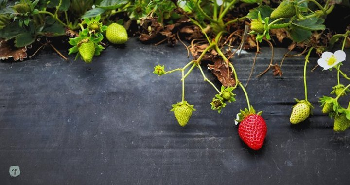strawberry plant at the farm