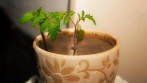 Nawa Mukerji's tomato plant