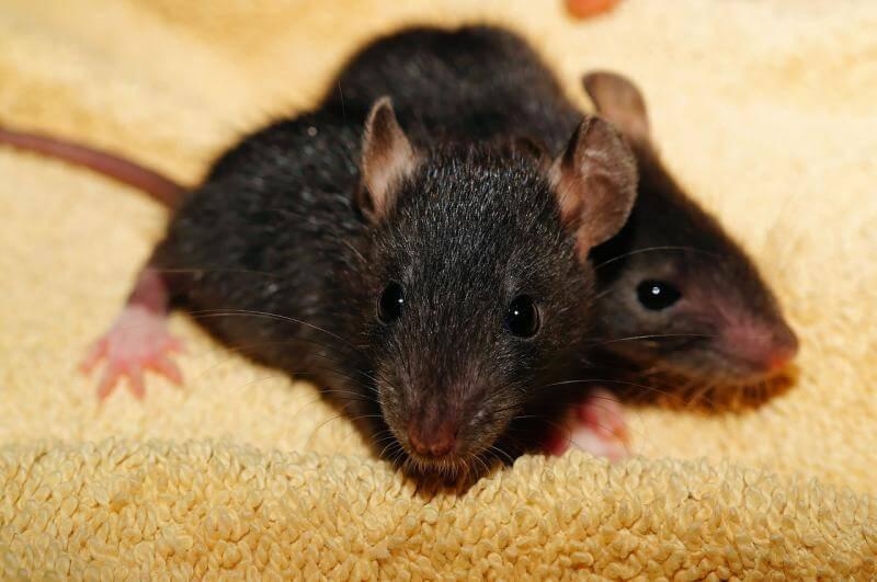 شركة مكافحة فئران بالرياض