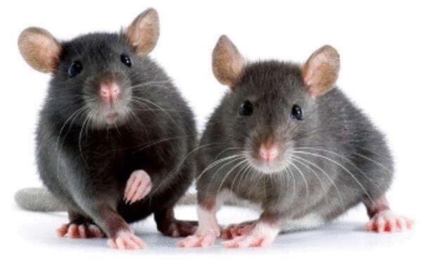 شركة مكافحة فئران بالاحساء