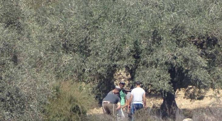مستوطنون يسرقون ثمار الزيتون في كفر قليل