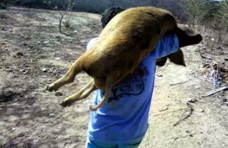 Levando o porco