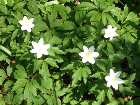 I like to take pictures of the wild flowers as they come into season. So here are the flowers I saw on our walk. I think this is Greater Stitchwort (but please correct me if I am wrong)