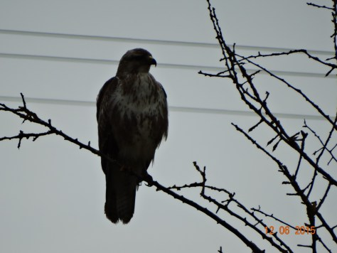 A buzzard looking for his next meal maybe
