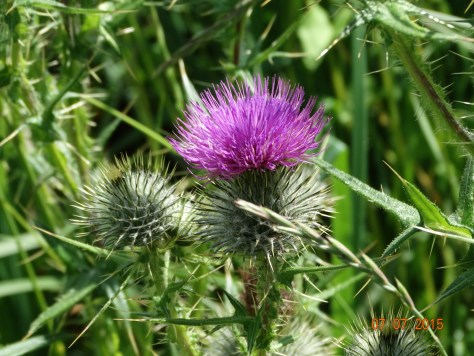 Common knapweed