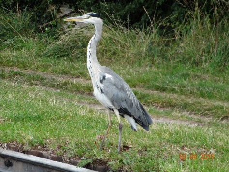 Lucky to see a heron who stood still for the picture