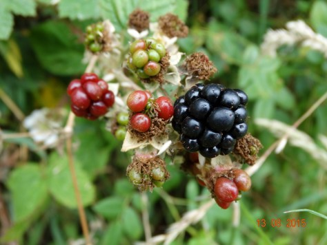 Mmmmm blackberries are starting to ripen. I have already picked some for the freezer