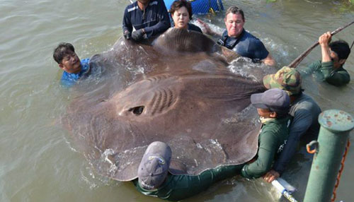 Must See_ Giant Stingray Might Make Record Book (Image 1)_8128