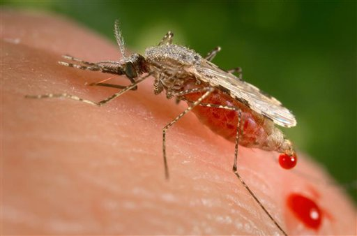 This photo provided by the Centers for Disease Control and Prevention (CDC ) shows a feeding female Anopheles stephensi mosquito crouching forw_206912