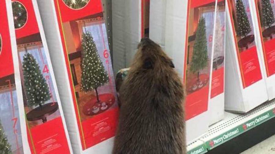 beaver-1_214888