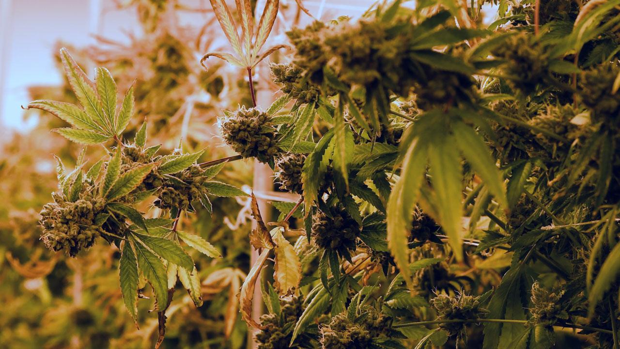 marijuana-getty_364256