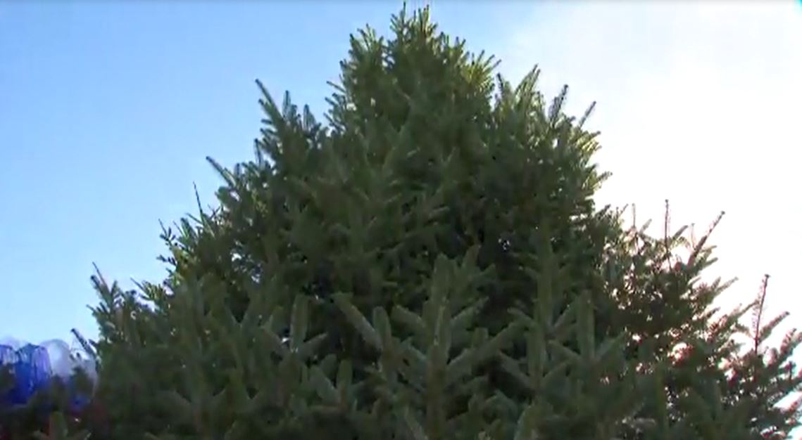 Bugs In Christmas Trees.Up To 25 000 Bugs Could Be Living In Your Christmas Tree