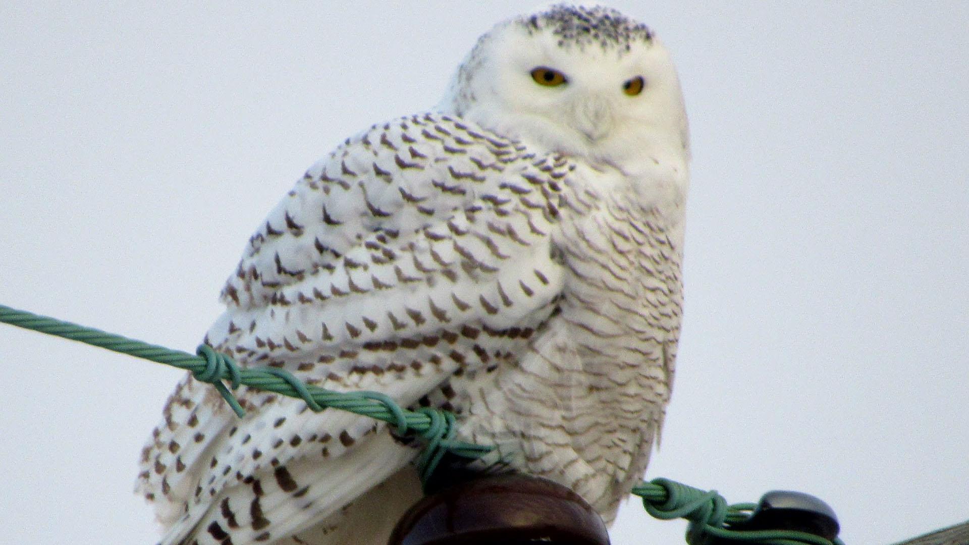 snowy owl_374980