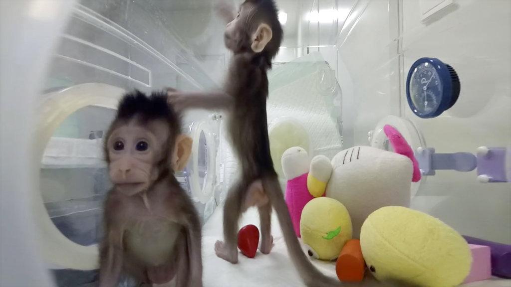 Cloned Monkeys_382852