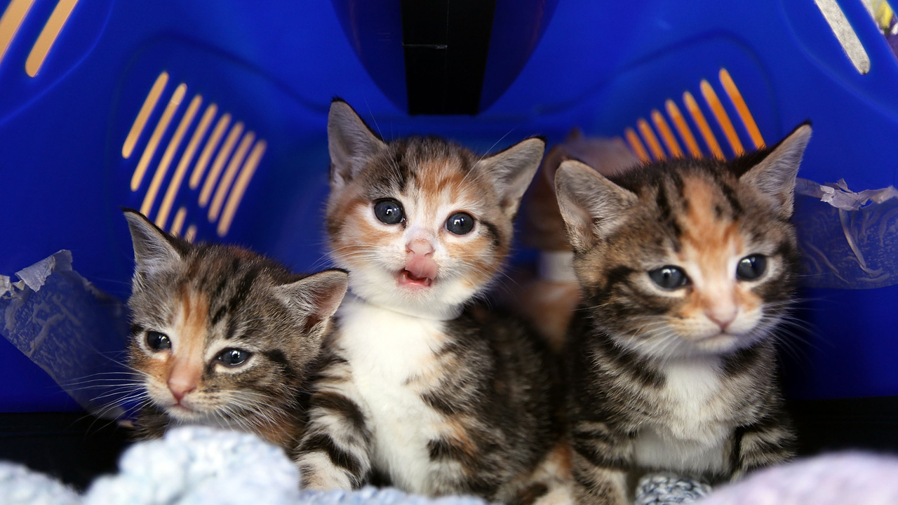 Cat Emergency At Battersea As Fewer Prospective Owners Come Forward_364755