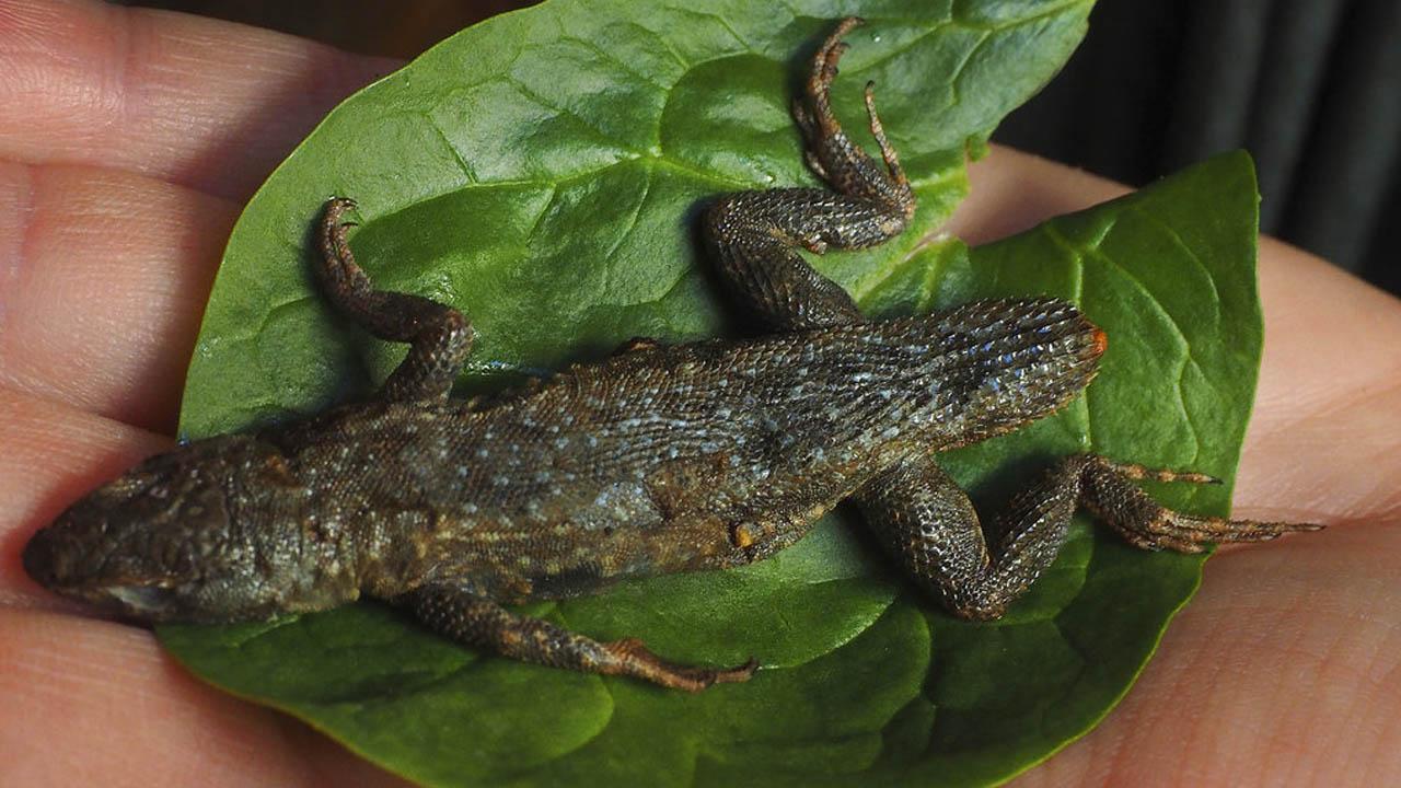 lizard lettuce_388653