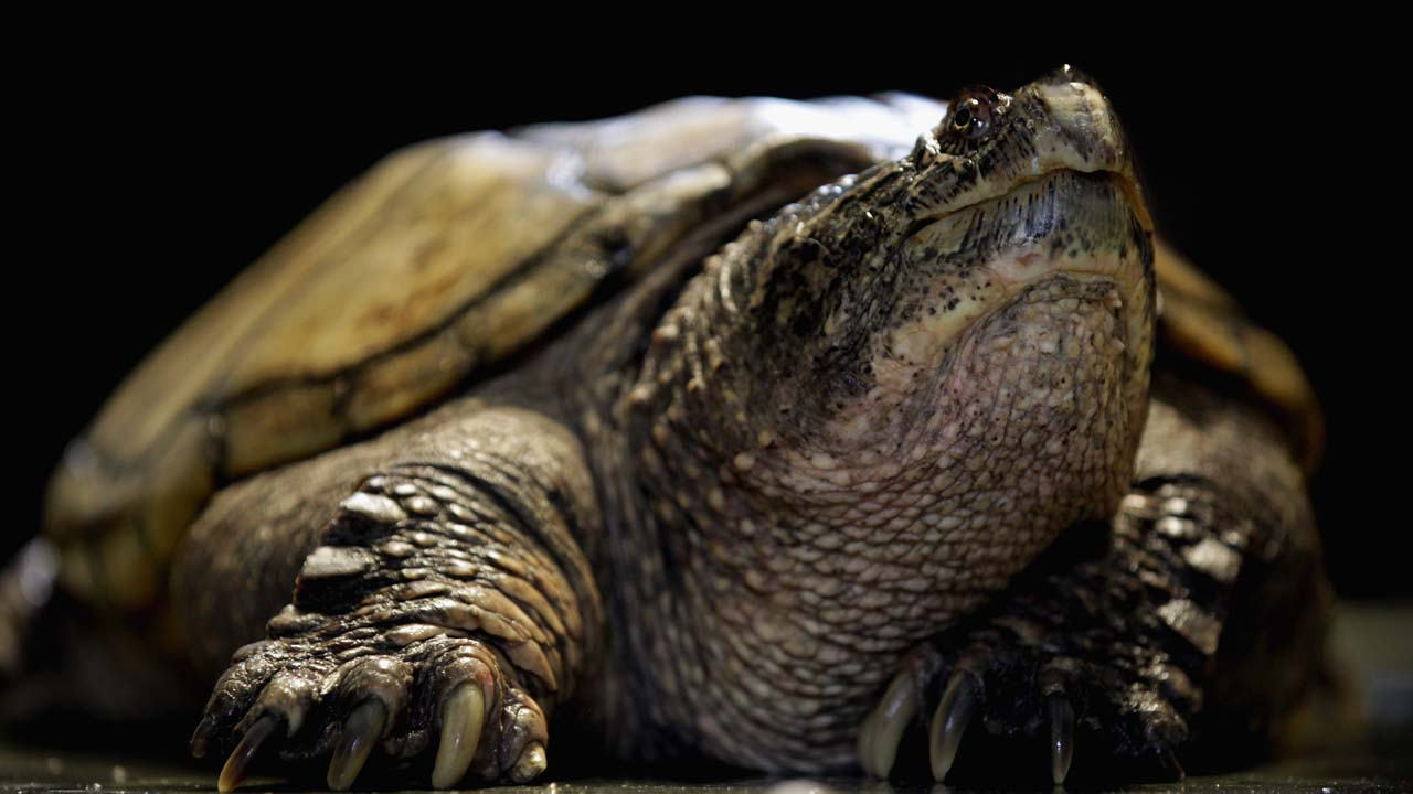 snapping turtle_402313