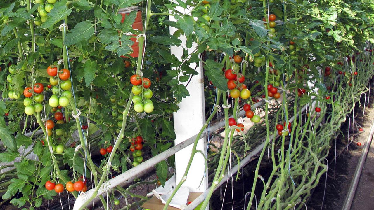 tomatoes_1523387651198.jpg