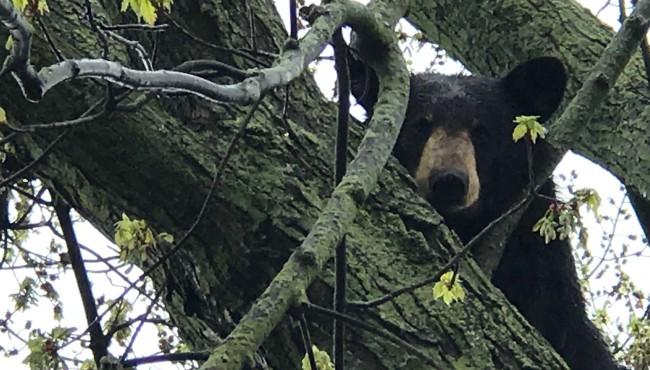 black bear grand rapids 2 050318_1525361557691.JPG_41540866_ver1.0_1525381370961.jpg.jpg