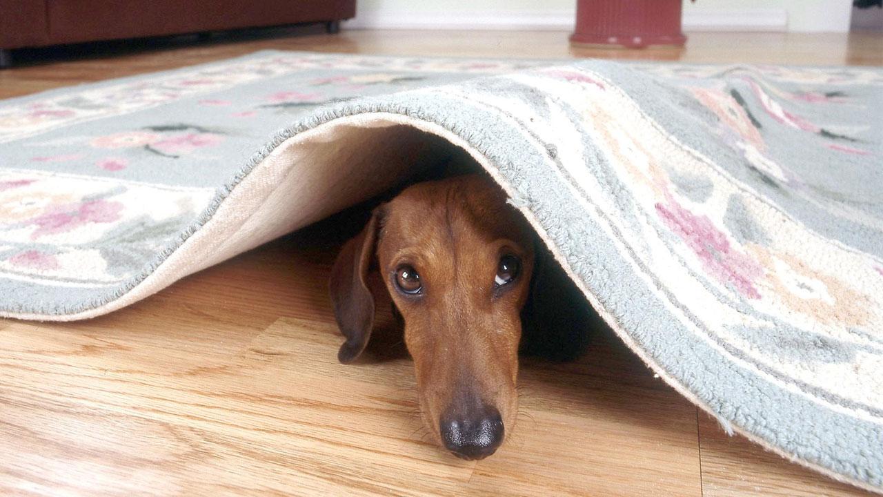 dog-under-rug_1530613411859.jpg