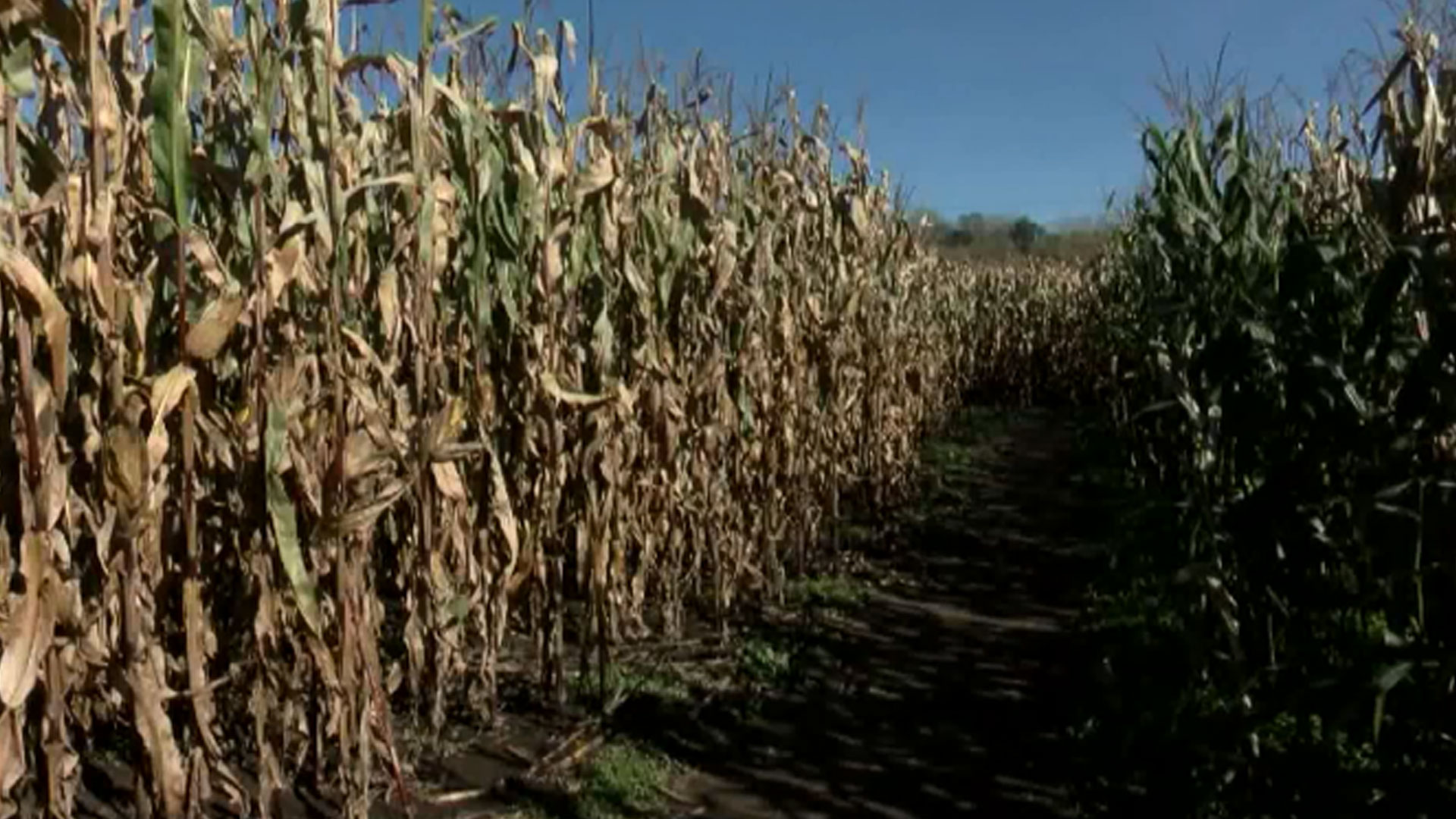 corn-maze_1537322199451.jpg