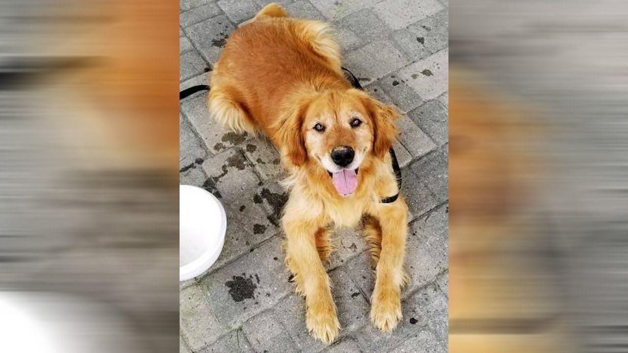 Rescue trying to save as many golden retrievers as possible from