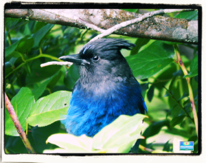 Rainforest Stellar's Jay
