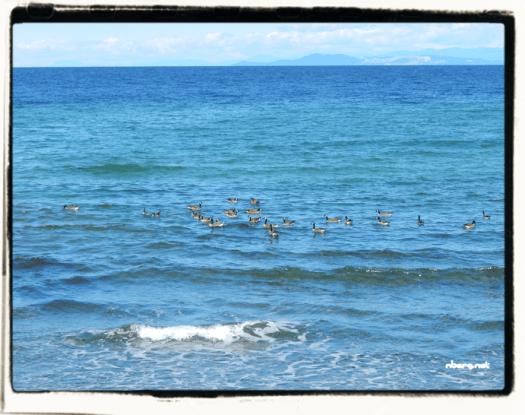 Geese on the ocean