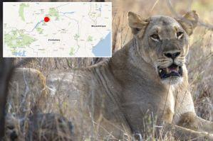 Vrouw gedood door een leeuw tijdens seks