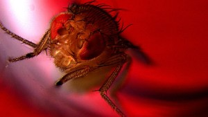 Fruit flies like sex and refer to alcohol if they're not getting any