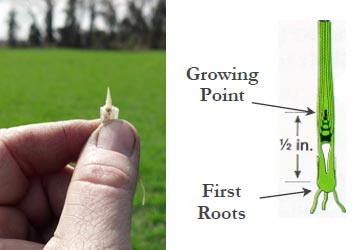 diagram of growing point at growth stage 5.