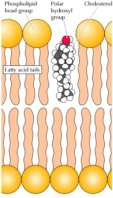 Figure 2.47. Insertion of cholesterol in a membrane.