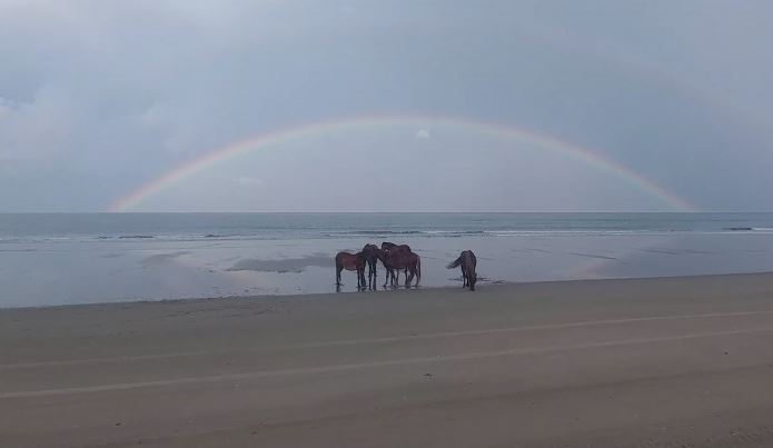 Wild Horses on Corolla Beach North Carolina