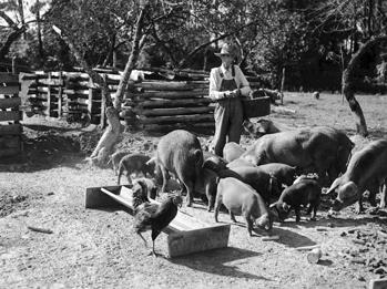 Image result for 1900 farm swine pit