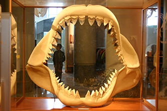 Fossil, Fossilized Teeth of the Megalodon Shark | NCpedia