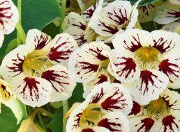 Семена Настурция Голден Флэш: описание сорта, фото. Купить ...