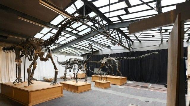Der Stiftung Hagenbeck ist es gelungen, vier vollständige Skelette von einer seltenen Art der Dinosauriergattung Suuwassea für den Tierpark Hagenbeck zu sichern. © Stiftung Hamburg Foto: Michael Zapf