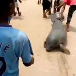 Video Of A Manatee Dragged Along The Road In Niger Delta Region Sparks Outrage
