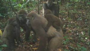 World's rarest species of gorillas pictured with babies in Cross River
