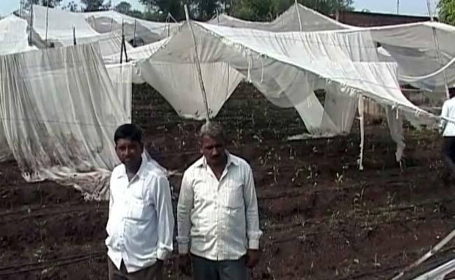 Heavy Rain, Hailstorm Damage Standing Crop in Northern Maharashtra