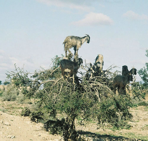 https://i1.wp.com/www.neatorama.com/images/2007-01/tree-goat-3.jpg