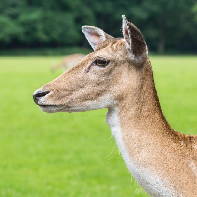 Animal photography of a deer head