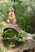 Animal photgraphy Meerkat