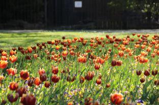 Ungesehen von Gästen blühen dieses Jahr die Tulpenarrangements im Park   Foto: Elmar Herding