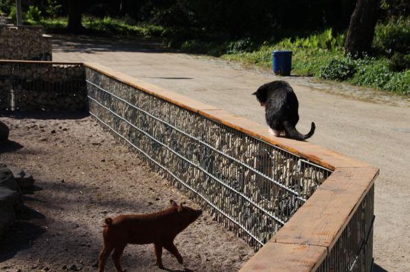 Kater Max ist der einzige Besucher am Wollschweingehege   Foto: Elmar Herding