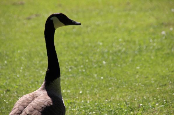 Die Gänse und Störche haben die Wiesen des Parks für sich | Foto: Elmar Herding