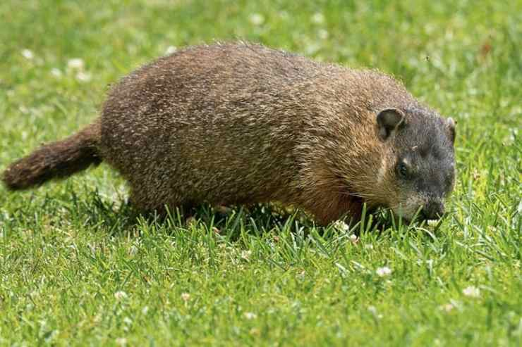 Groundhogs Do Not Lose Weight Easily