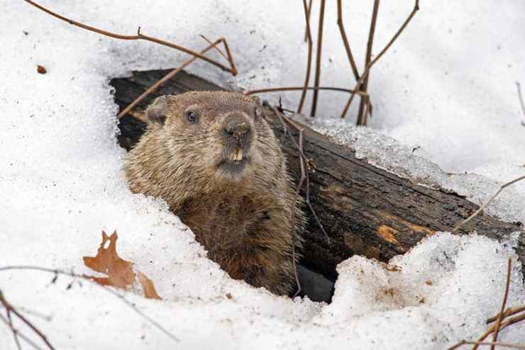 Groundhogs Live Large